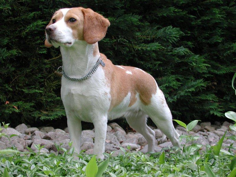 Beagle Upsy Pitbull Dog Price In Usa