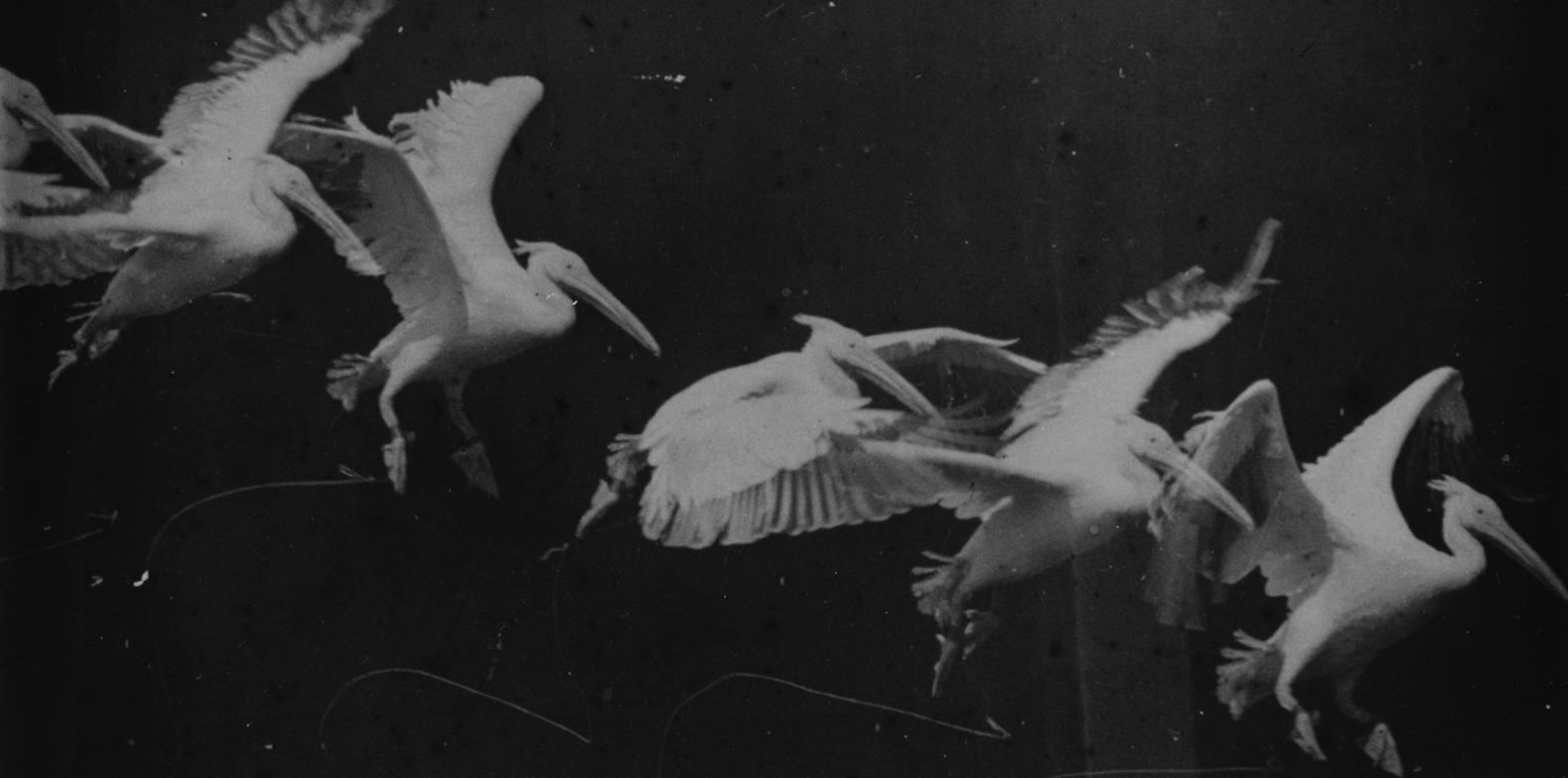 Flying pelican, Marey (a. 1882)