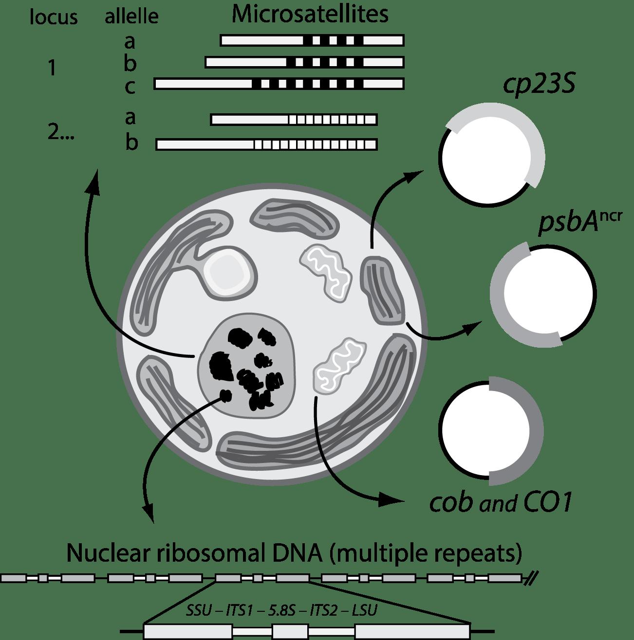 File Molecularmarkerssymbiodinium