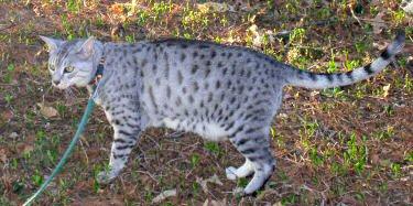 Photo of an Egyptian Mau cat