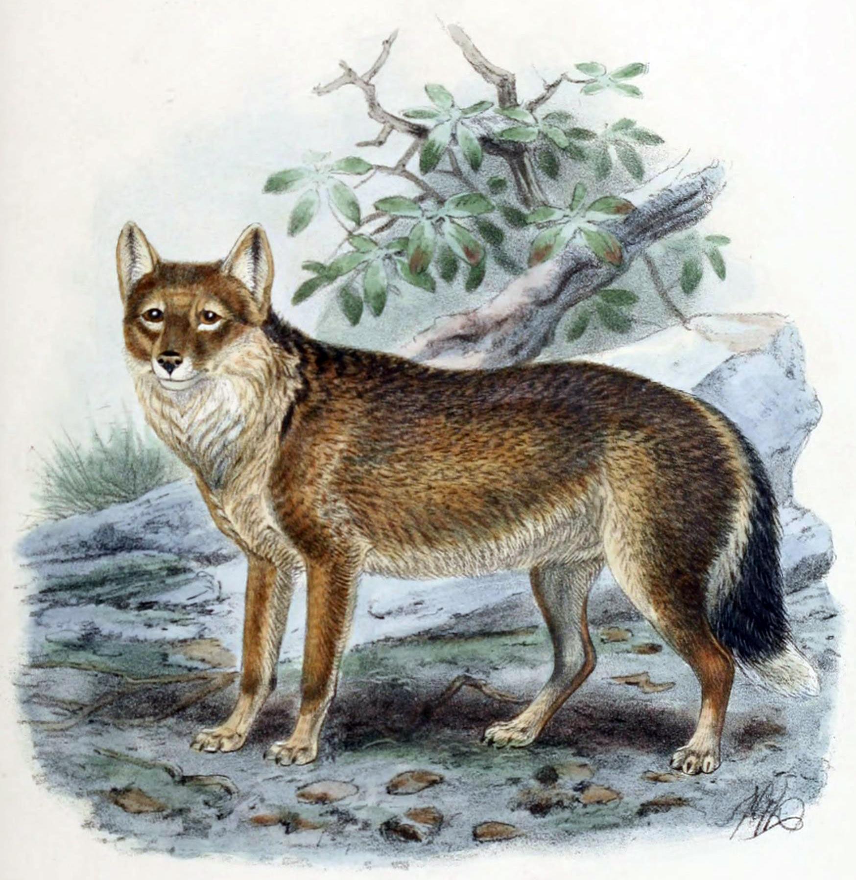 El zorro domésticado de Tierra de Fuego.