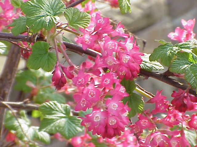 Ribes Sanguineum Wikispecies
