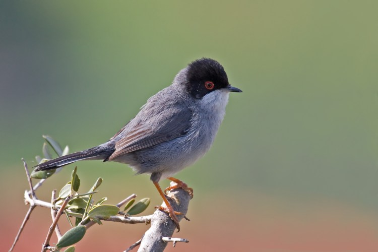 Massacre on Cyprus. Researchers call for a crack down on poachers who lure millions of birds to their deaths on the Mediterranean island with recordings of their own songs.