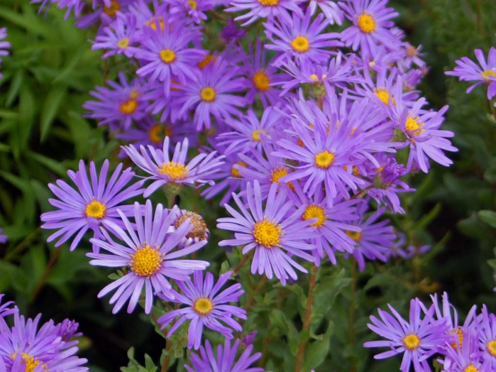 September Birth Flower Aster ProFlowers Blog