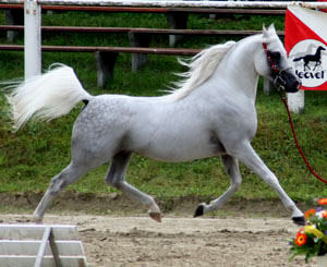 A purebred Arabian stallion, showing dished pr...