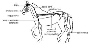 Anatomy and Physiology of AnimalsNervous System