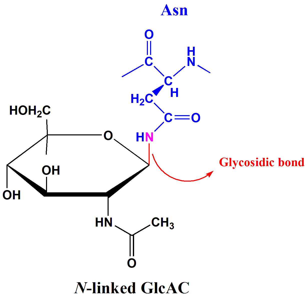 File N Linked Glycosidic Bond