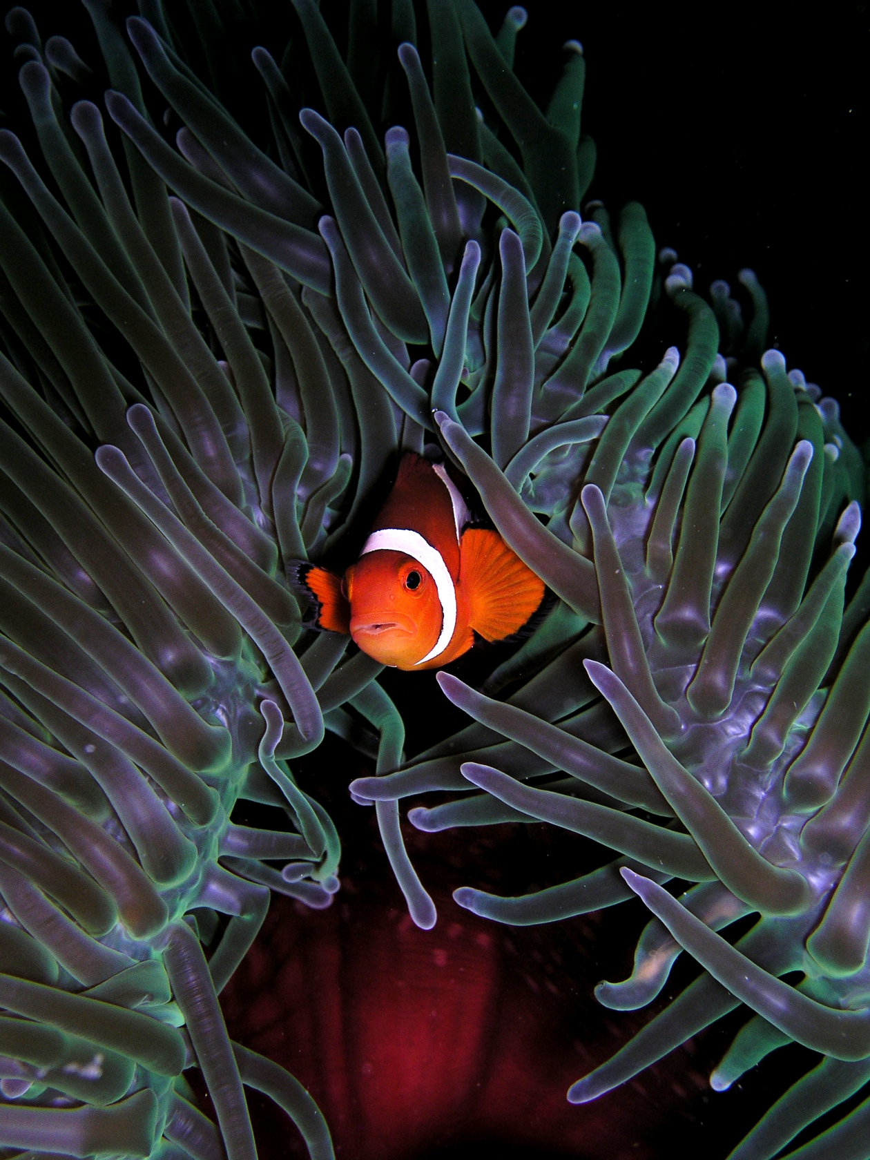 Anemones Clown Anemonefish