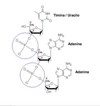 Enlace fosfodiéster. El grupo fosfato une el carbono 5' del azúcar de un nucleósido con el carbono 3' de otro
