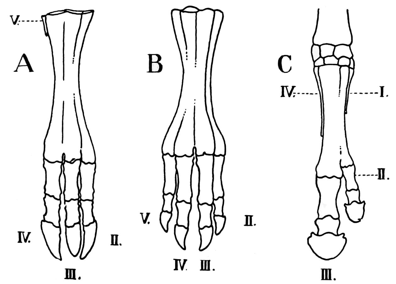 Cattle Bone Diagram