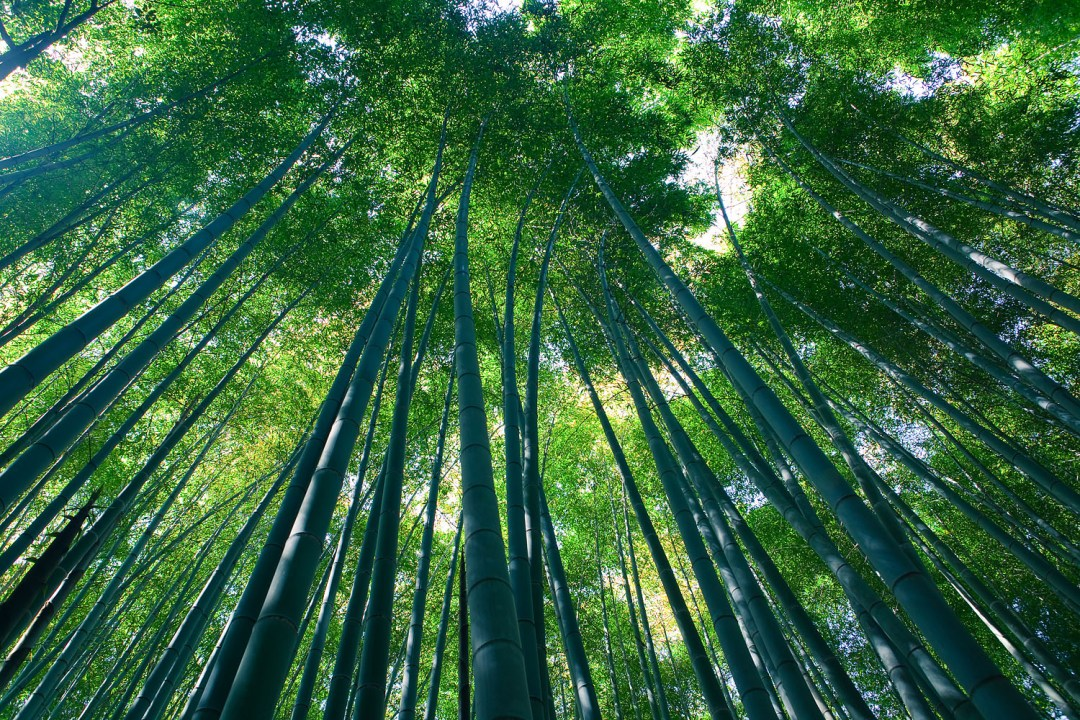 Sagano Bamboo forest, Arashiyama, Kyoto- Surreal places to visit