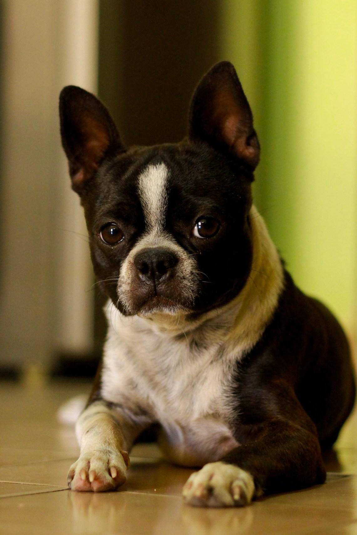 Boston Terrier Boxer Dog Mix Pitbull