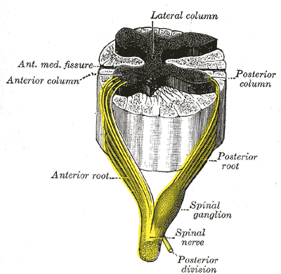 A spinal nerve with its anterior and posterior...