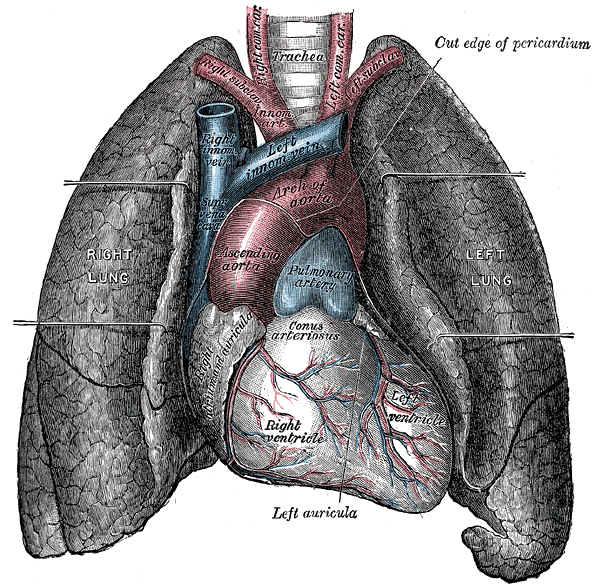 https://i1.wp.com/upload.wikimedia.org/wikipedia/commons/e/e6/Heart-and-lungs.jpg