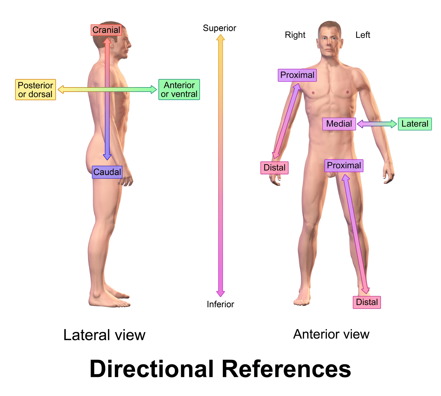01 Anatomical Position And Anatomical Directions