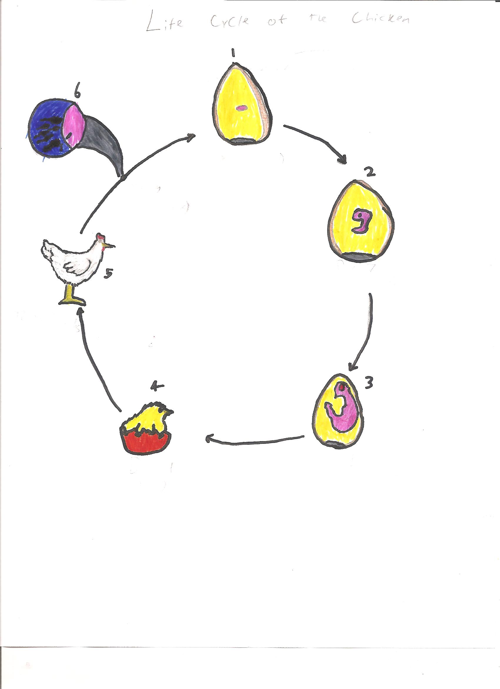 File Life Cycle Of The Chicken