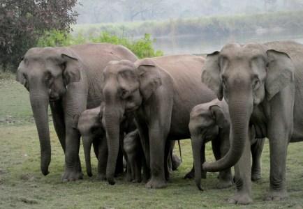éléphant d'asie - éléphanteau - groupe