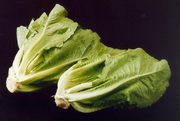 ARS romaine lettuce