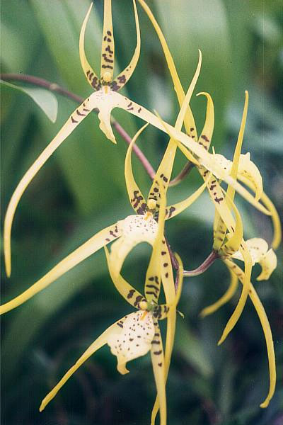 English: Brassia maculata (an orchid) Download...