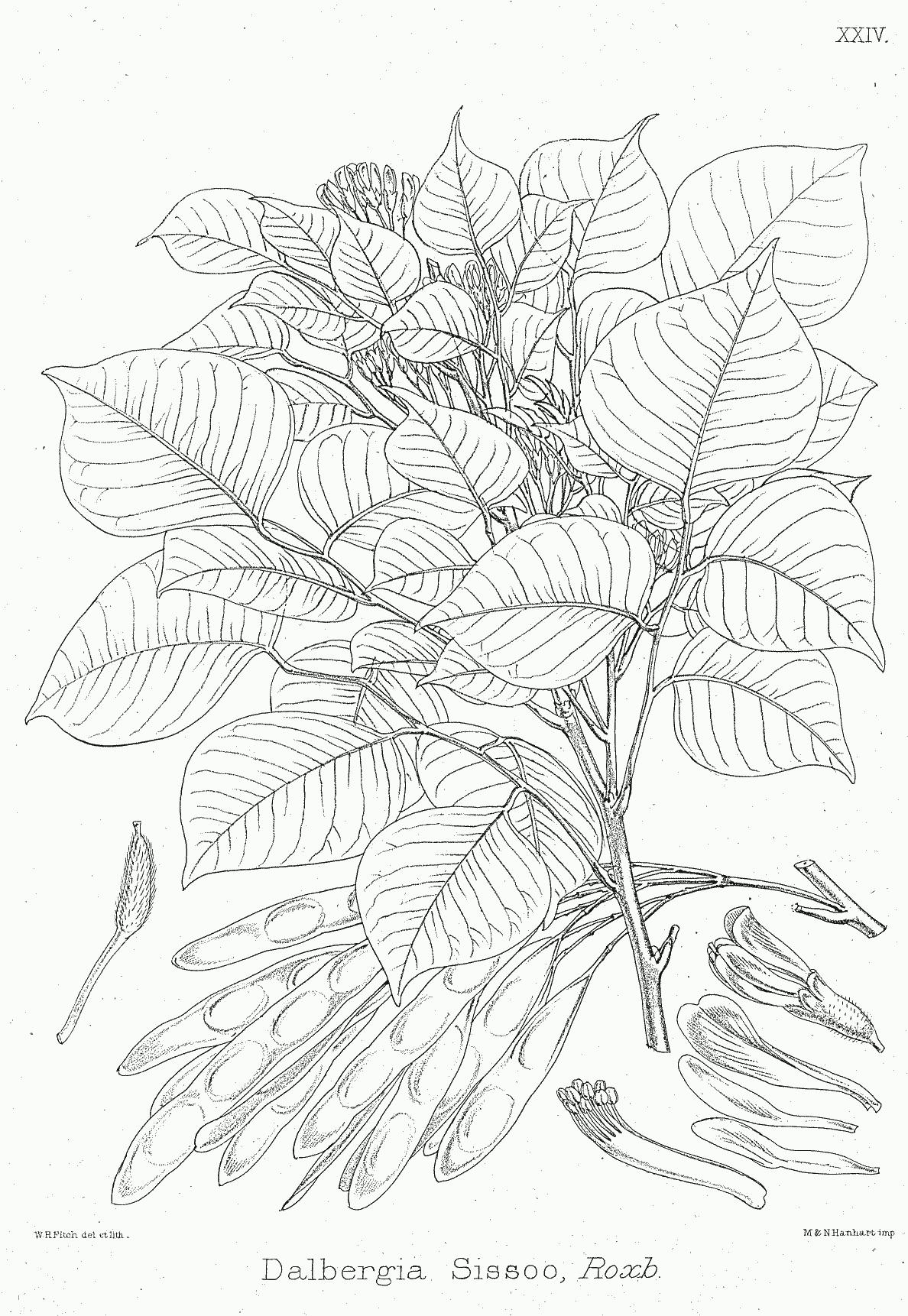 Dalbergia