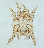 Image result for ear mites