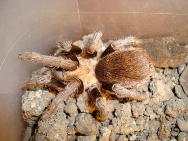 Missouri Tarantula (Aphonopelma hentzi) by Mothore
