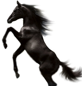 English: A Jumping Black Stallion.