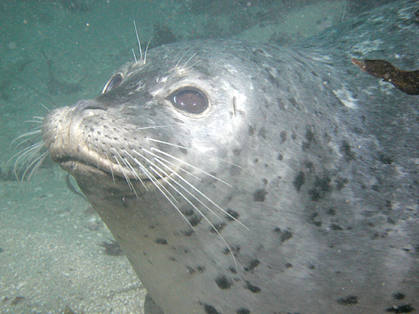 Harbor Seal, Point Lobos. Image taken by Clark Anderson/Aquaimages.
