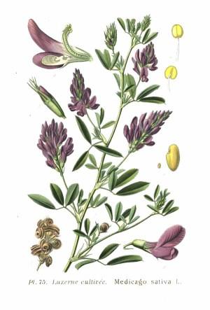 Alfalfa  Wikipedia