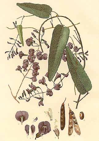 Hardenbergia illustration by Edward Minchen (1862-1913), 1896