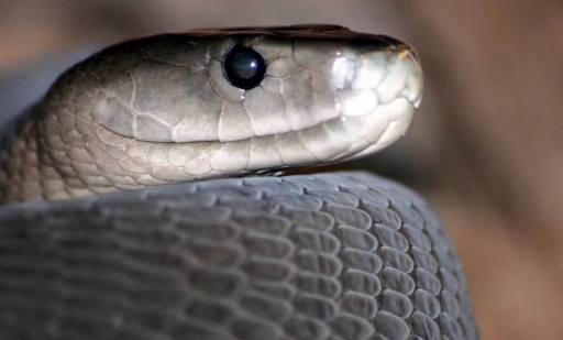 Hartebeespoort Zoo and snake park, Black Mamba - panoramio