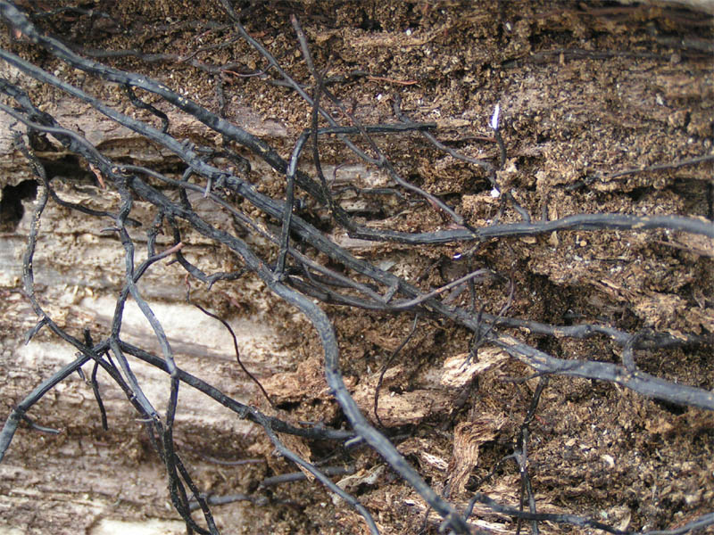 Rhizomorph Armillaria