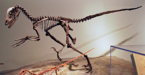 dromaeosaurid dinosaur Deinonychus