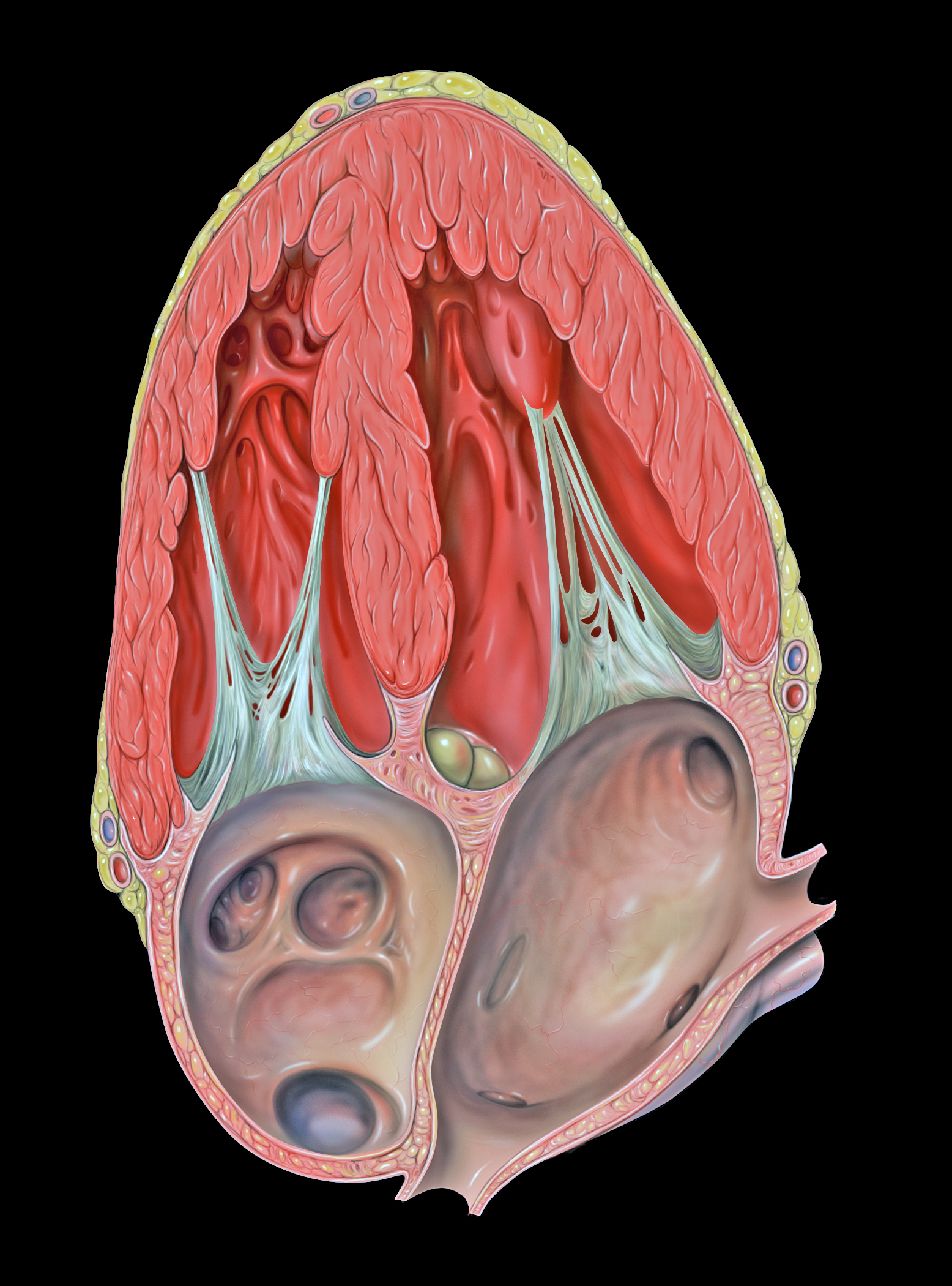 File Heart Apical 4c Anatomy