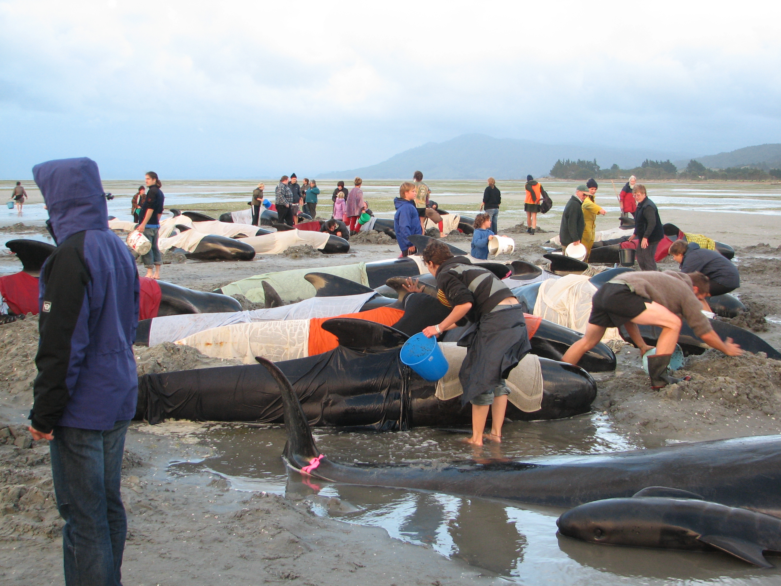 Voluntarios hidratando ballenas desorientadas y varadas