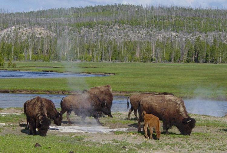Ficheiro:Bison near a hot spring in Yellowstone-750px.JPG