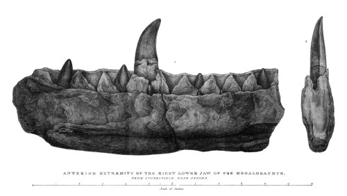 https://i1.wp.com/upload.wikimedia.org/wikipedia/commons/e/ef/Buckland%2C_Megalosaurus_jaw.jpg?resize=500%2C282&ssl=1