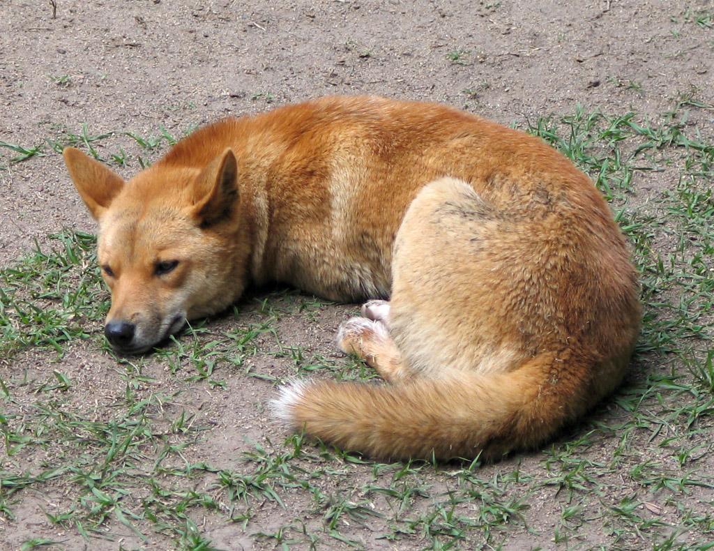 Dingo Australia Zoo QLD Pitbull Dog Food