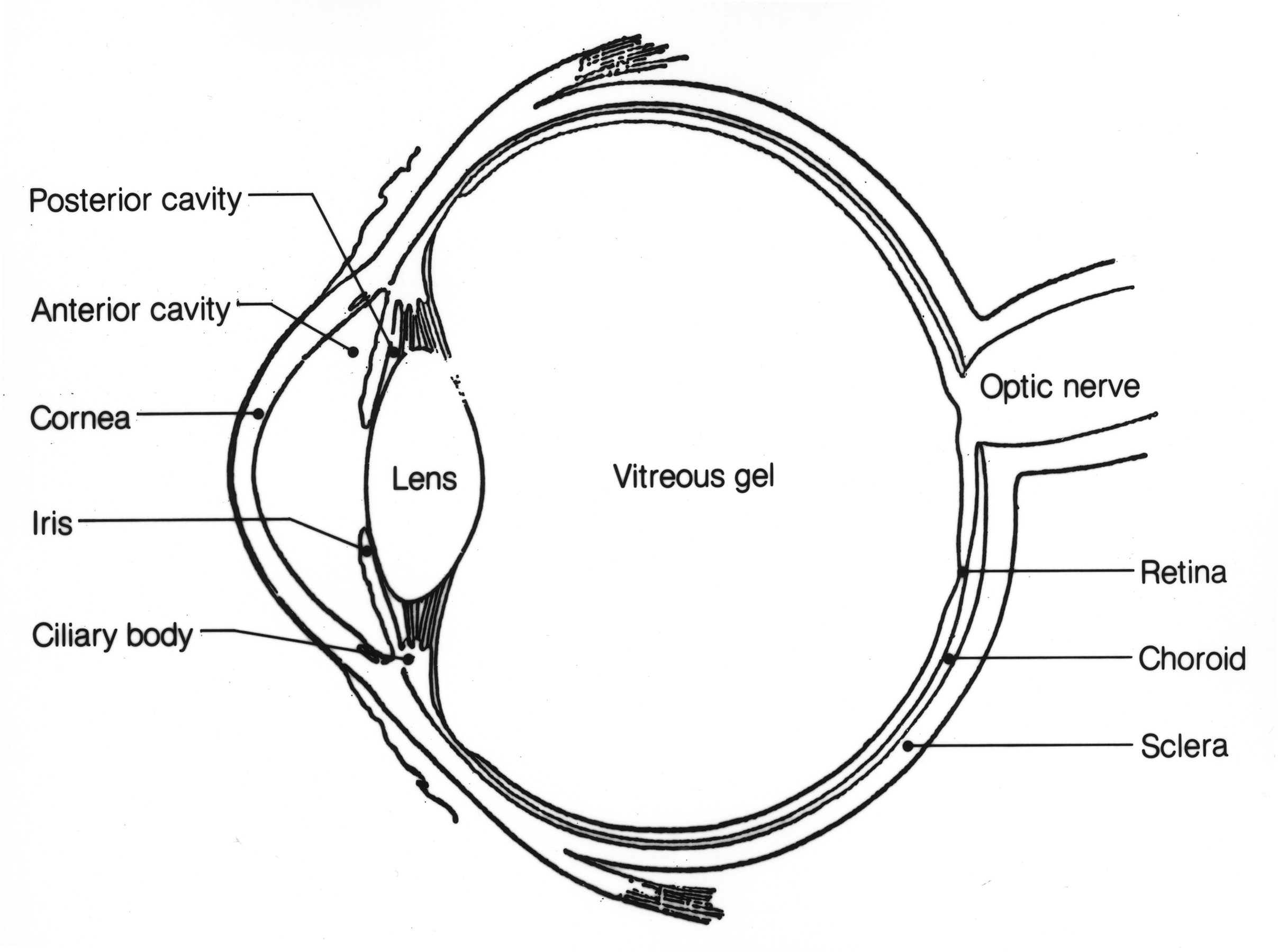 Eye Anatomy Diagram Label