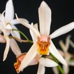 Orchidee Coelogyne graminifolia