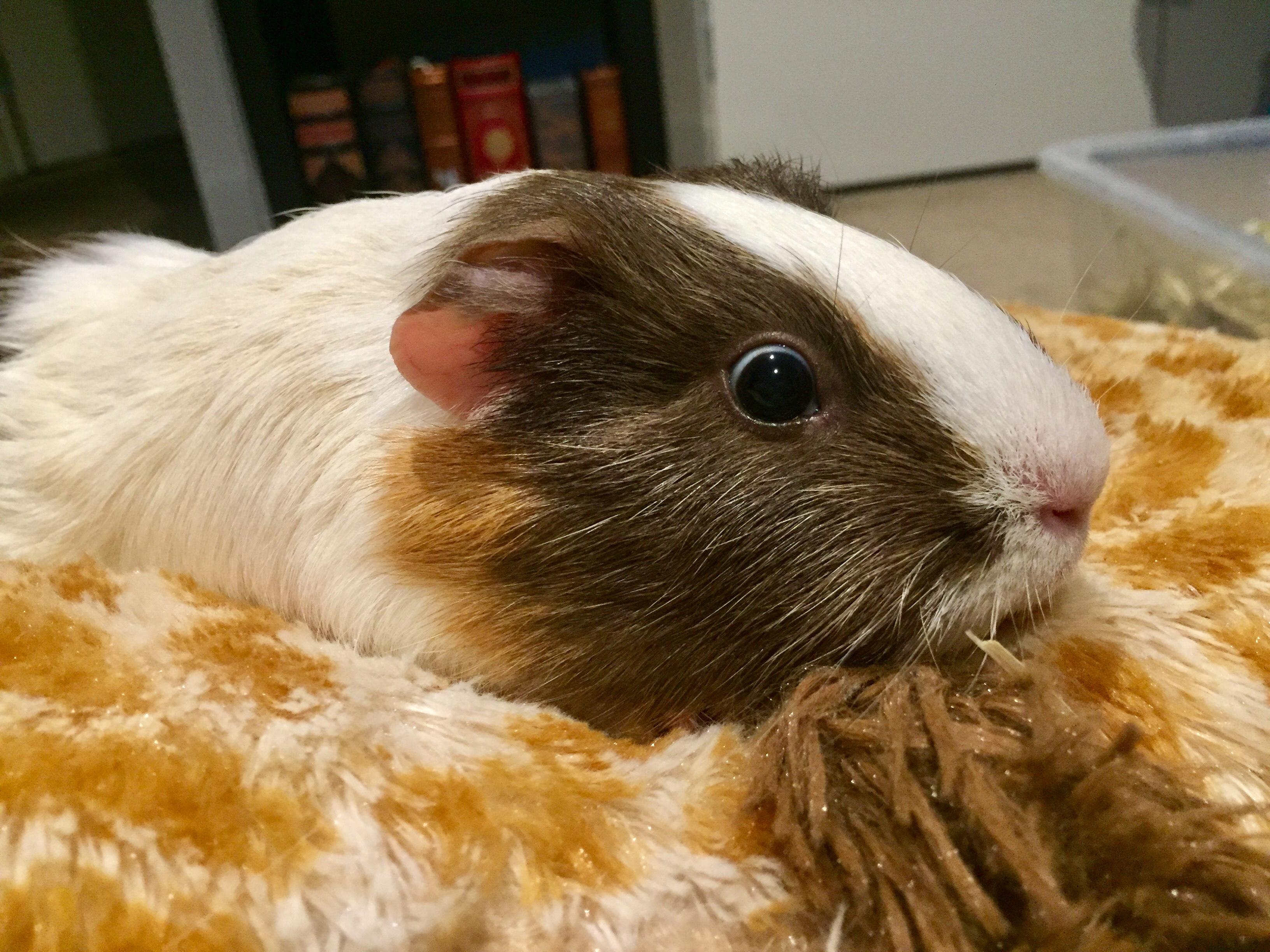 https commons wikimedia org wiki file guinea pig on pillow jpg