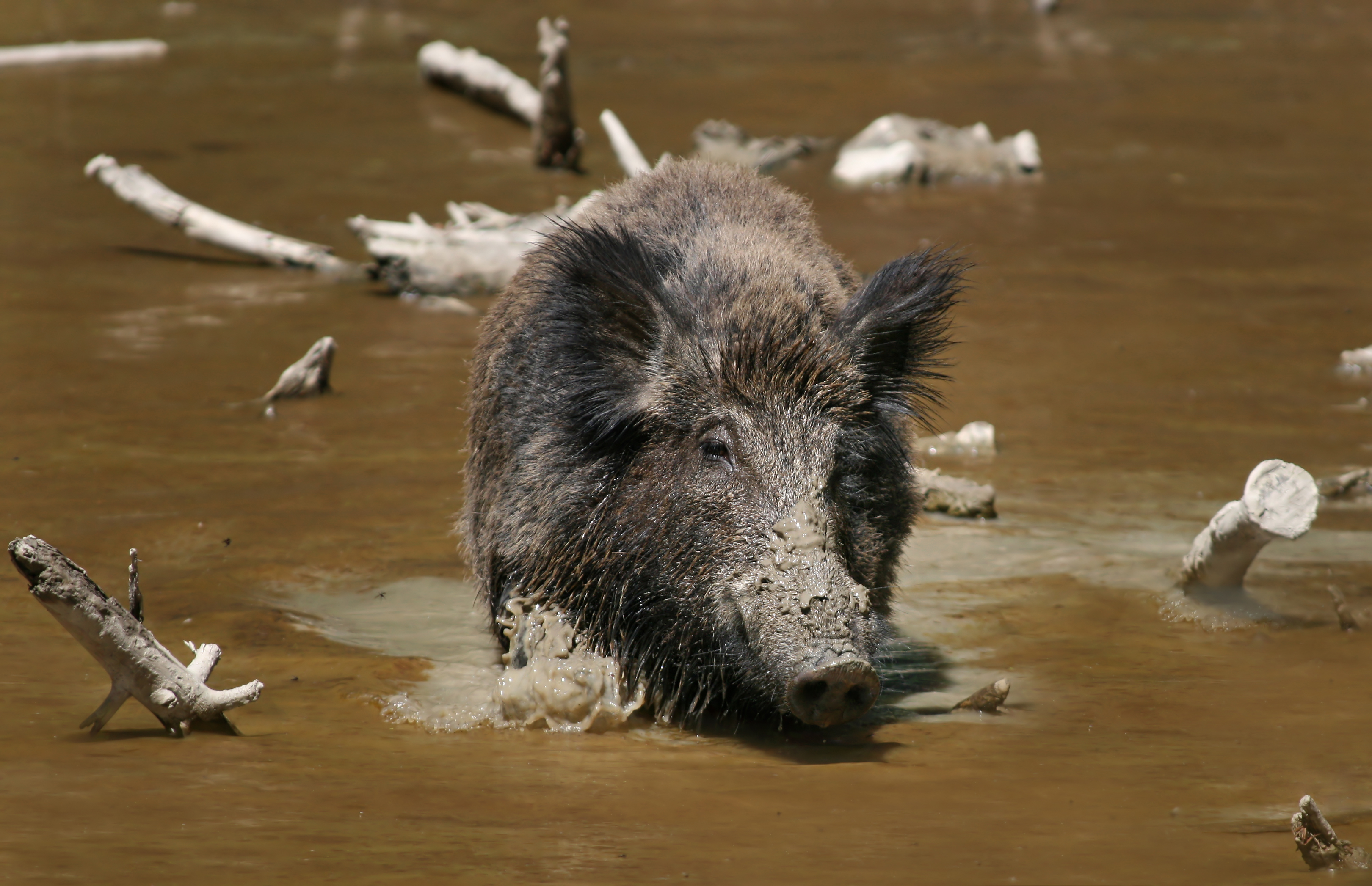 A Wild Boar (pic from wikipedia)