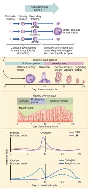 Menstruation  Wikipedia
