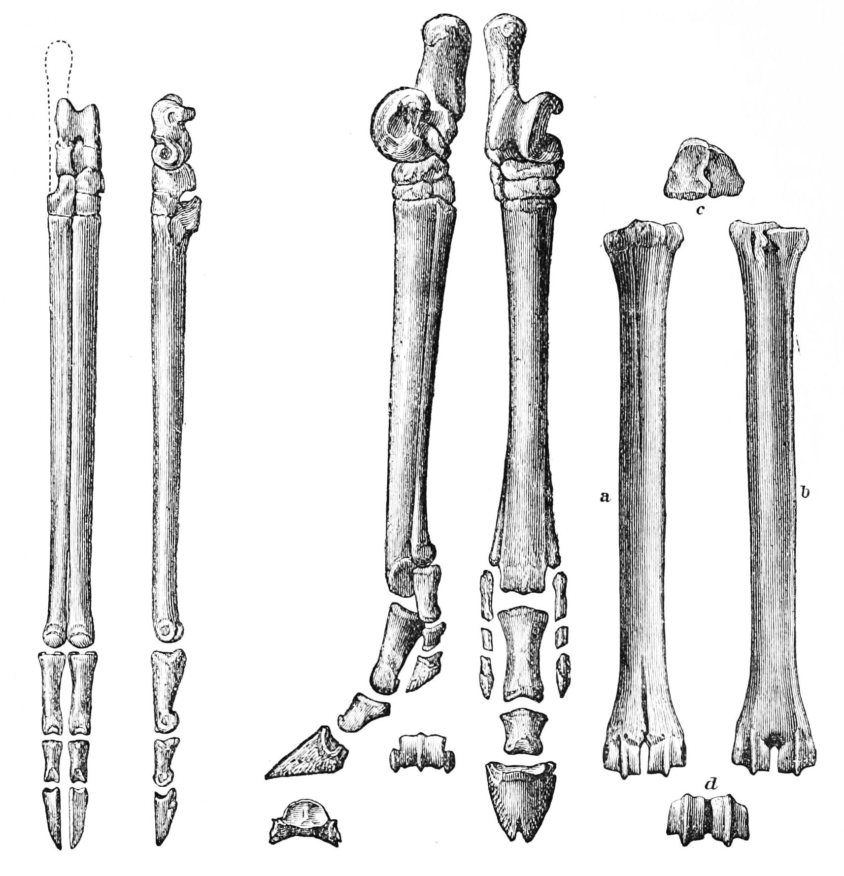 File Psm V27 D815 Hind Feet Of Primitive Cameloid Three
