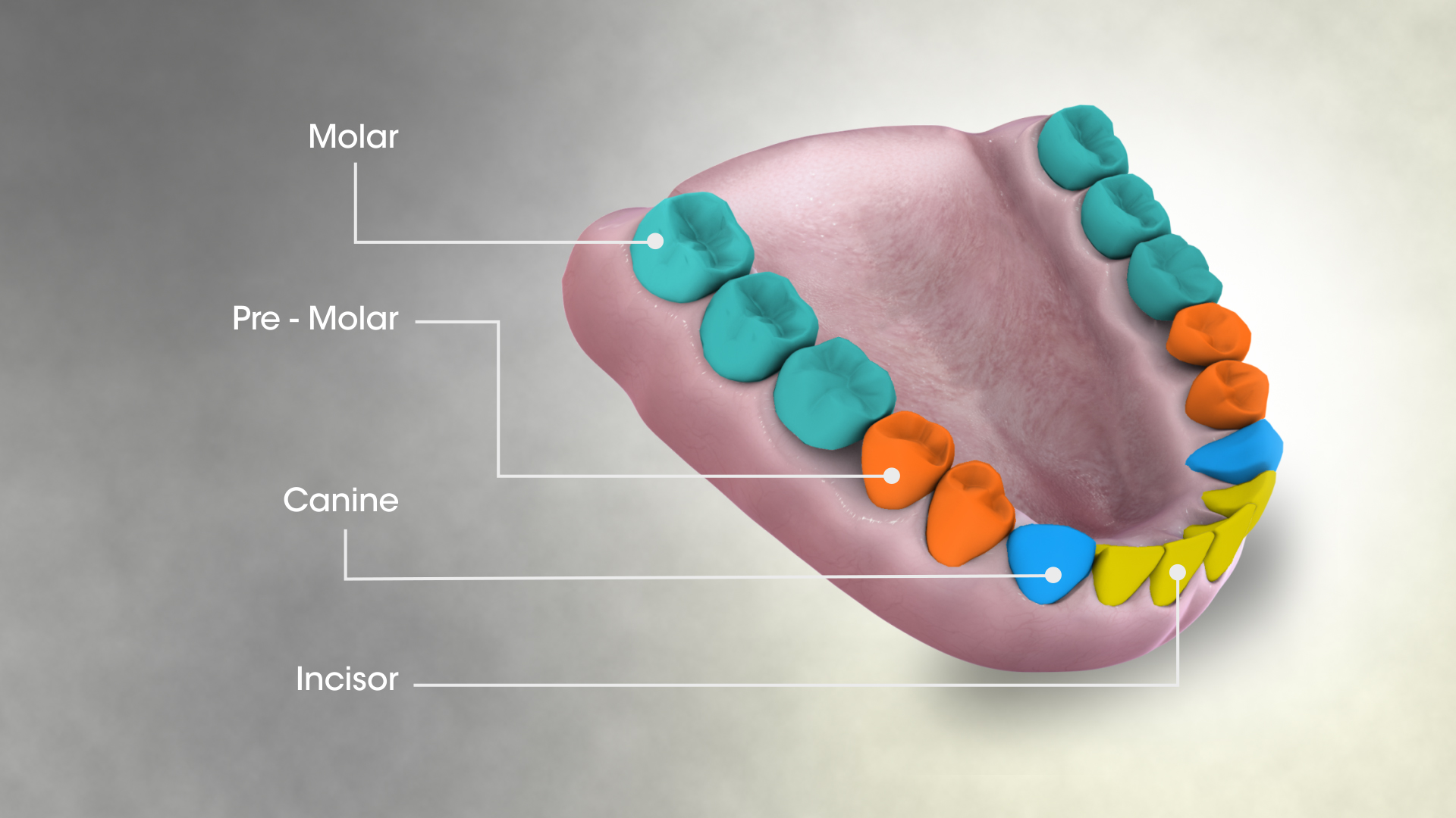 File 3d Medical Animation Still Showing Types Of Teeth
