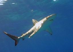 Carcharhinus galapagensis hawaii