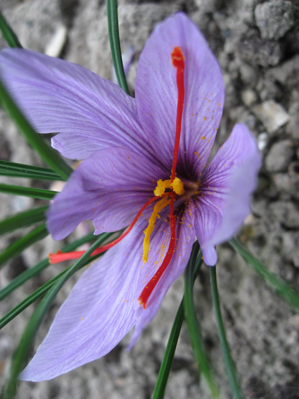 https://i1.wp.com/upload.wikimedia.org/wikipedia/commons/f/f4/Crocus_sativus_01_by_Line1.JPG