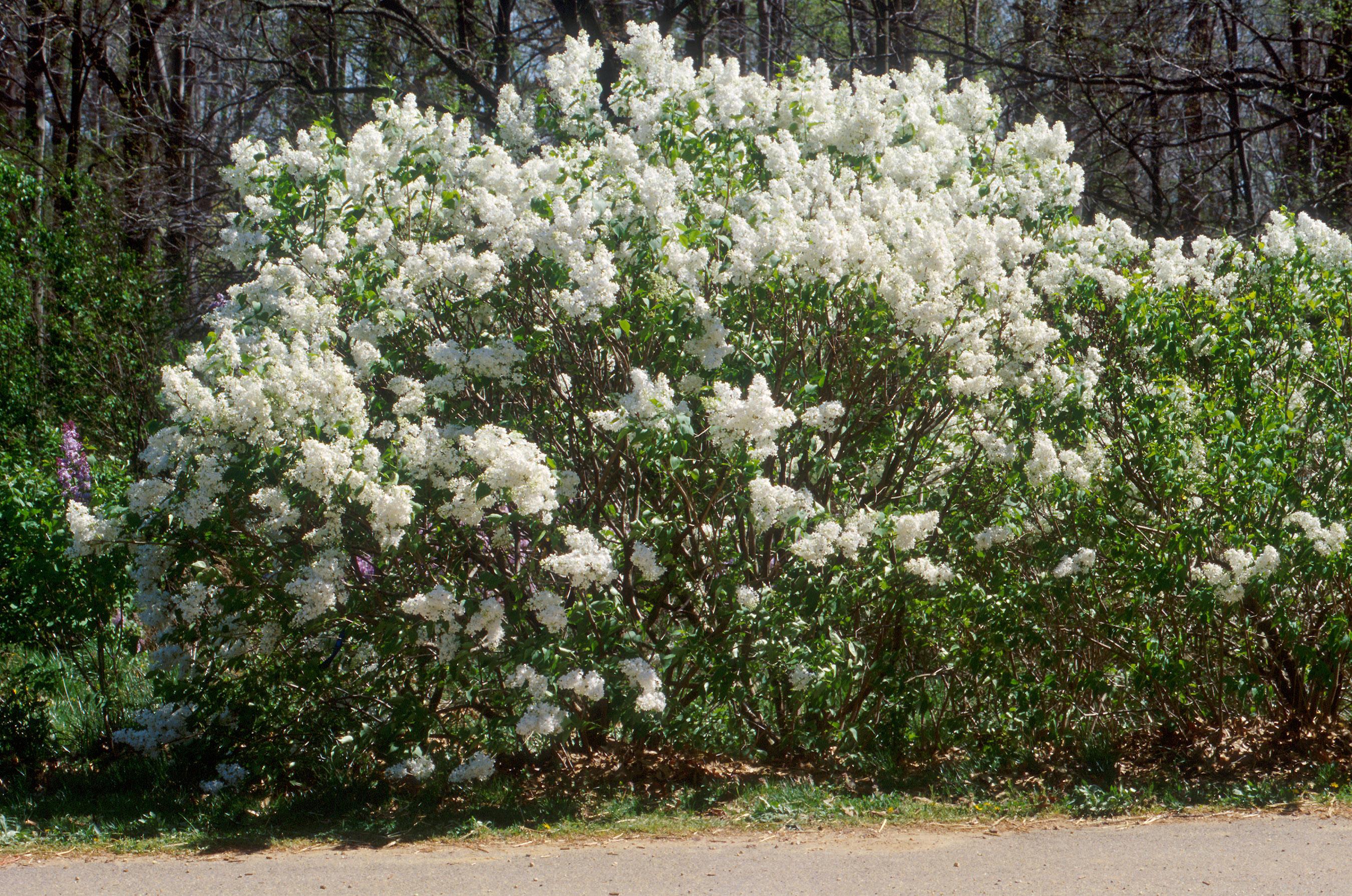 Tập tin:Lilac cultivar.jpg