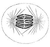 Anafazın ilk safhaları