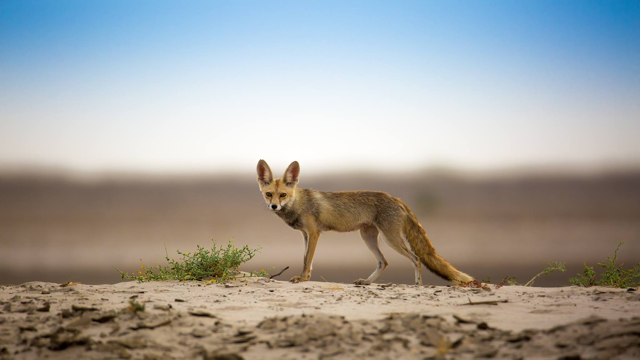 File White Footed Fox In Its Desert Habitat